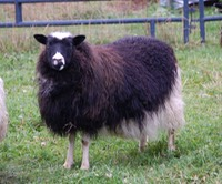 Carly--a black spotted ewe